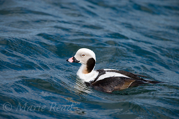 Long-tailed Duck (Clangula hyemalis) male in winter plumage, Barnegat Inlet, New Jersey, USA