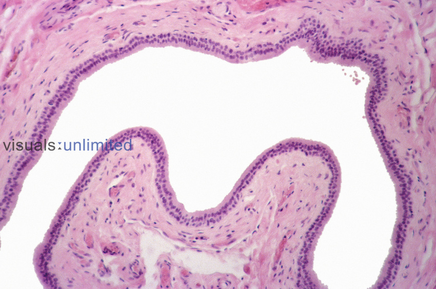 Stratified columnar epithelium of the submandibular salivary gland duct. LM X40