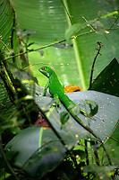 A Green Iguana ( Iguana iguana) Manuel Antonio National Park, Manuel Antonio, Costa Rica