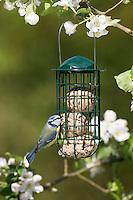 Blaumeise, Fütterung am Meisenknödel, Knödelhalter, Fettfutter, Vogelfutter, Blau-Meise, Meise, Meisen, Cyanistes caeruleus, Parus caeruleus, blue tit, bird's feeding, La Mésange bleue. Ganzjahresfütterung, Vögel füttern im ganzen Jahr, Vogelfutter der Firma GEVO