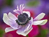 Close up of purple Anemone.
