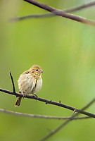 577730002 a wild female white-collared seedeater sporophila torquela perches on a branch in las palmas park in laredo webb county texas north america