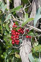 Raue Stechwinde, Rauhe Stechwinde, Früchte, Smilax aspera, rough bindweed, sarsaparille
