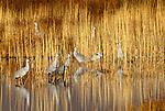 Sandhill cranes, Bosque del Apache National Wildlife Reserve, New Mexico