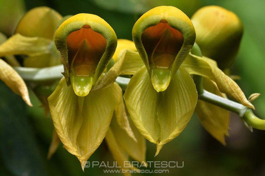 Orchid (Catasetum viridiflavum) ~Panama