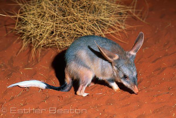 Greater Bilby (Macrotis lagotis) Northern Territory. Endangered species