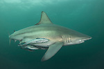 The blacktip shark (Carcharhinus limbatus) belongs to the family of Carcharhinidae. He is present in three big oceans and in the Mediterranean Sea. He can live 12 years for a maximum size of 2,80m. One distinguish them by blackpoint on the pectoral, dorsal, pelvic fins and the caudal fin. The body is grey with reflections bronze and the white stomach. Shark viviparous animal (birth of the young already formed sharks), females can carry about ten youngs every two years.<br />