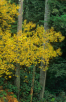 769550297 deciduous trees in autumn yellow line the coast road in humbug state park on the pacific coast of oregon