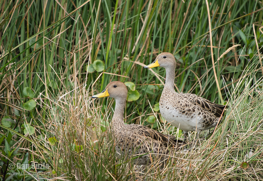 Yellow-billed Pintail, Anas georgica, on the shore of San Pablo Lake, Ecuador