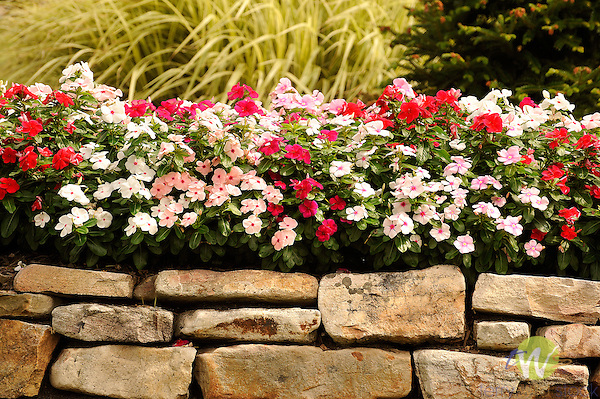 Impatiens with stone wall.