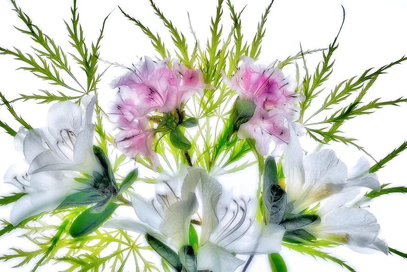 White and pink azaleas. Oregon