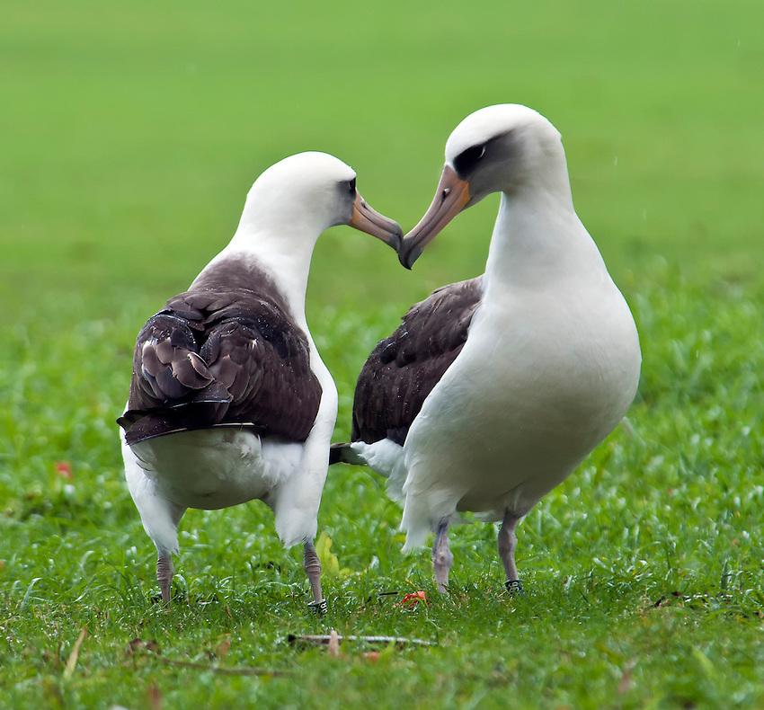 A pair of Laysan albatrosses (Phoebastria immutabilis) engaged in a courtship dance ritual at the edge of a golf course in Princeville, Kauai, Hawaii