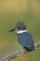 Belted Kingfisher, Megaceryle alcyon,male looking for fish, Willacy County, Rio Grande Valley, Texas, USA