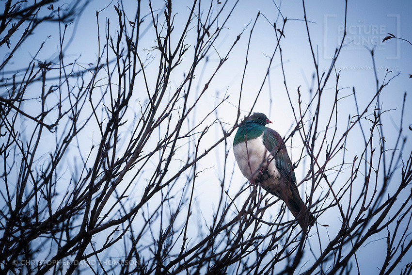 Kereru - NZ Native Wood Pigeon, roosting in a winter willow, Christopher David Thompson