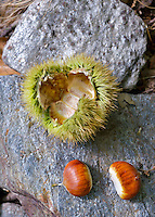 Sweet chestnuts beside their protective bur are displayed on a granite stone