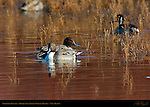 Northern Pintail Males, Drakes, Bosque del Apache Wildlife Refuge, New Mexico