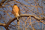 Cooper's Hawk perched in a tree in Bosque del Apache National Wildlife Refuge.