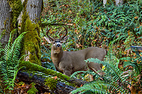 Coastal Black-tailed Deer Buck or Columbian black-tailed deer buck (Odocoileus hemionus columbianus).  Late Fall, Pacific Northwest.  A bit of old snow is on the ground.