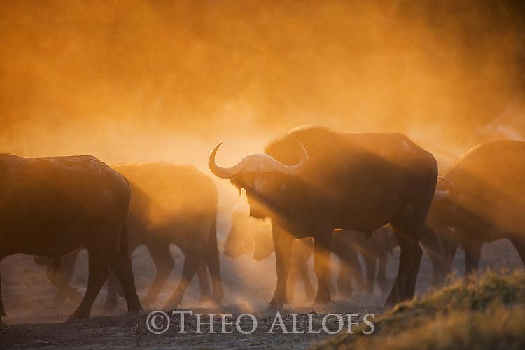 Botswana, Okavango Delta, Moremi Game Reserve, Cape buffalo or African buffalo (Syncerus caffer) herd walking in dust at sunrise