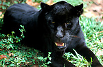 Jaguar, Panthera onca, captive, black