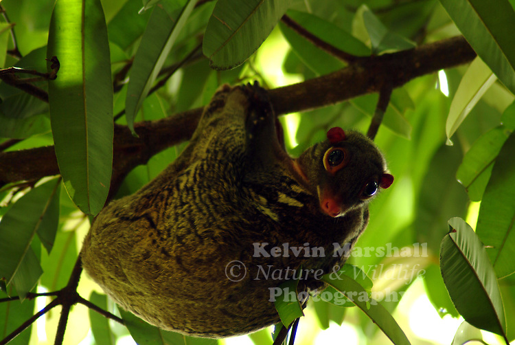 Colugo (Cynocephalus variegatus) Flying lemurs (Dermoptera) live in Southeast Asia. The largest species can be 75 cm tall. This animal can glide between trees, thanks to skin stretched between the front and back legs.