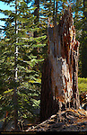 Forest Scene, Red Fir Sapling and Stump, Abies magnifica, Taft Point Trail, Yosemite National Park