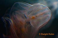 EC14-500z  Comb Jelly swimming in ocean