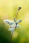 Meadow sweet, Filipendula ulmaria in Hay Meadow - Clattinger farm, Wiltshire
