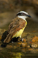 554810190 a wild great kiskadee pitangus sulphuratus stands in a small pond on a ranch in the rio grande valley of south texas