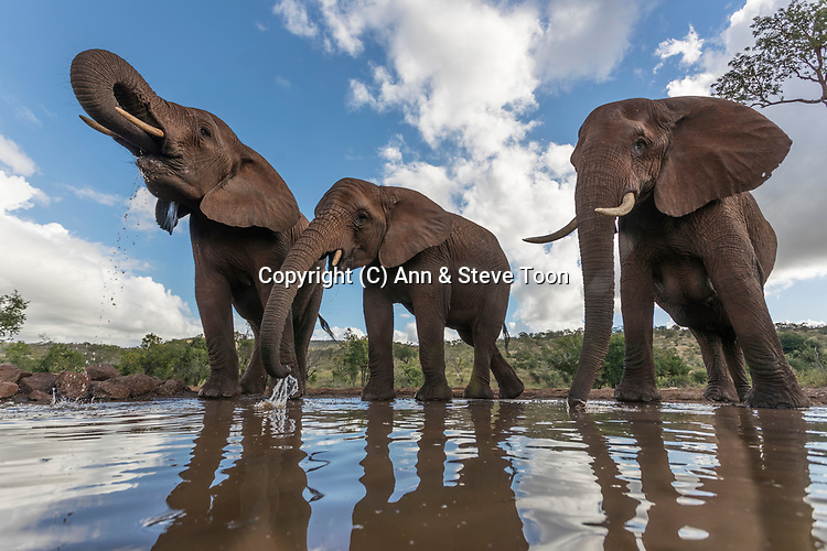 Elephants (Loxodonta africana) drinking, Zimanga private game reserve, KwaZulu-Natal, South Africa, May 2017