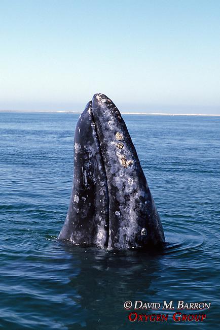 Gray Whale Spy Hop