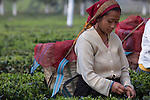 Fair Trade Worker Collecting Tea Leaves in the Ambootia Platation