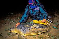 U. Queensland grad. student Kendra Coufal measures carapace of Australian flatback sea turtle, Natator depressus, Curtis Island, Queensland, Australia