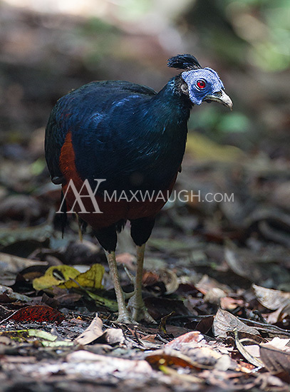 The crested fireback was a common sight near the grounds of the Borneo Rainforest Lodge.