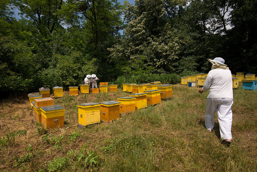 Beehives belonging to travelling beekeepers surrounded by linden trees next to the forest Valea Fagilor close to Macin Mountains National Park. Somewhere between Horia village and Tulcea, Romania.