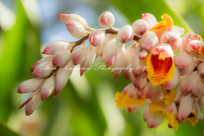 Ginger Blossom<br /> Virgin Islands