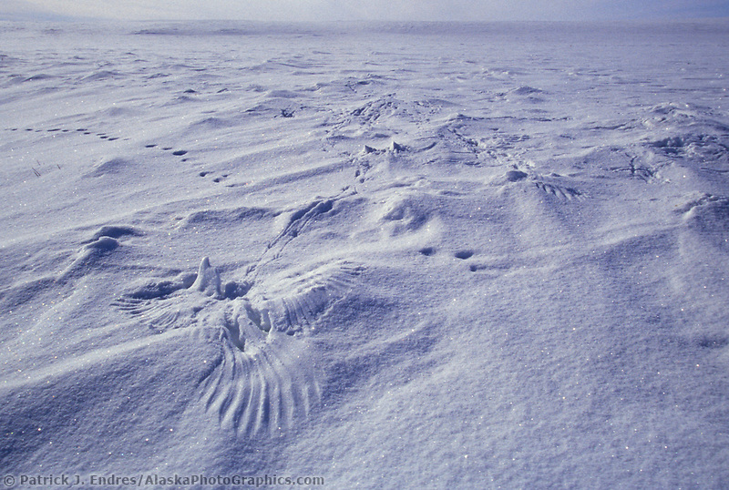 Ptarmigan tracks and wing prints in snow, Arctic coastal plains, Alaska