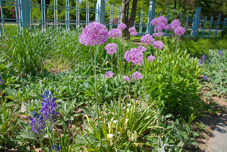 Allium Ornamental Onion With Camassia Quamash Stachys With Blue