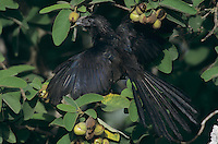 Groove-billed Ani, Crotophaga sulcirostris ,adult sunbathing on Mexican Olive Tree, The Inn at Chachalaca Bend, Cameron County, Rio Grande Valley, Texas, USA, May 2004