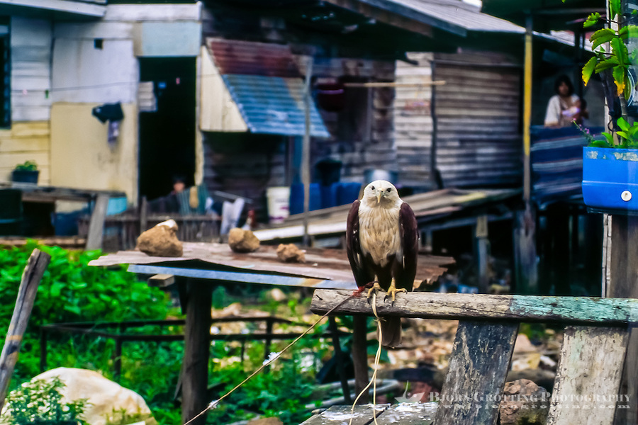 Riau Islands, Bintan. A Brahminy Kite held captive in Tanjung Pinang.