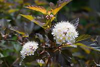 Physocarpus opulifolius 'Coppertina'  shrub in June late spring, flowering shrub with nice foliage . Note that Physocarpus 'Coppertina' aka Mindia is called Physocarpus opulifolius 'Diable D'Or' aka Mindia in Europe.