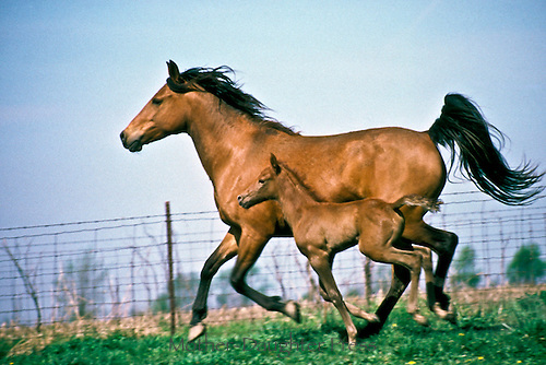 Registered Quarterhorses Bays-- Newborn foal and mother run along fence edge in summer