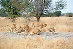 Lion Cub Urging his Family to Play in Moremi Animal Reserve in Botswana in Africa