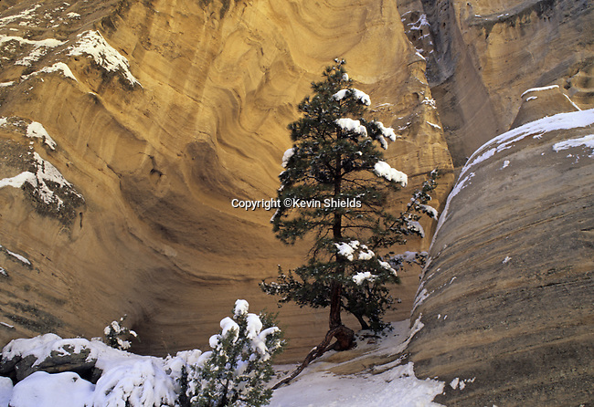 Tree in Canyon, Tent Rocks, New Mexico, USA