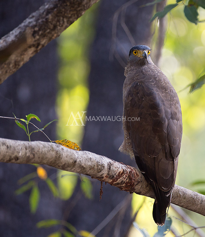 Crested serpent eagles were a common sight in Banhavgarh National Park.