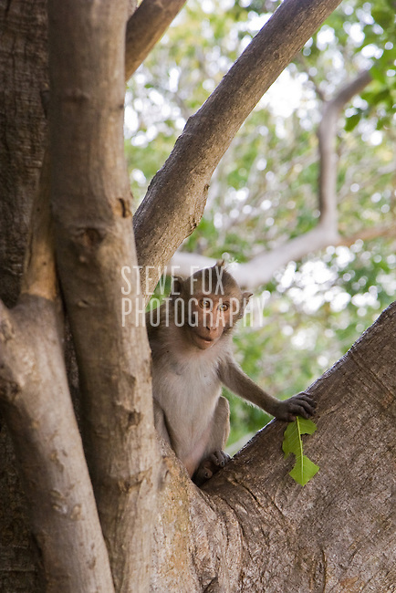 A Monkey holds a leaf whilst in a tree in the  Phra Nakhon Khiri Historical Park, Phetchaburi, Thailand.