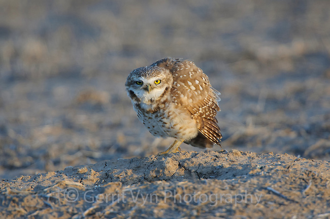 Adult Burrowing Owl (Athene cunicularia) vocalizing at nest burrow in a prairie dog town. Cimarron National Grassland, Kansas. April.