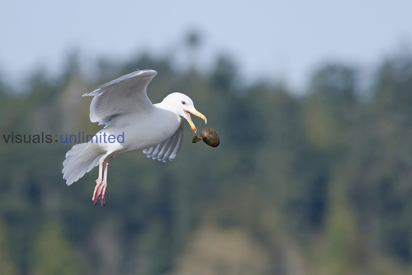 Glaucous-winged Gull (Larus glaucescens) flying, Victoria, BC, Canada.