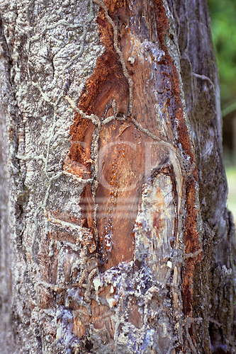 Amazonas State, Brazil. Jatoba (Hymenaea courbaril); medicinal resin. Also Jutai-acu, jatai.