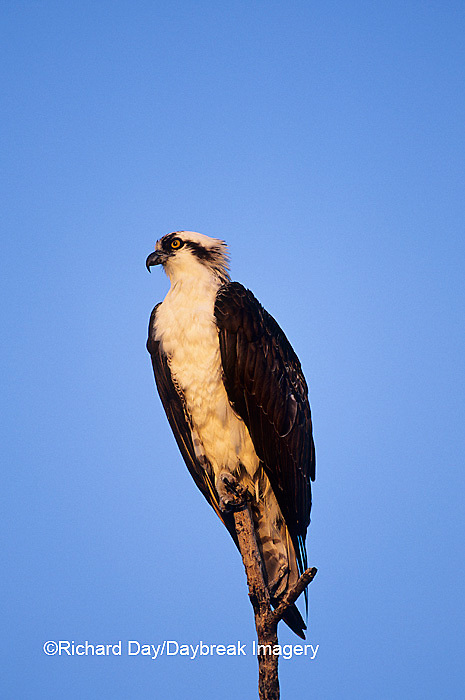 00783-01704 Osprey (Pandion haliaetus) male J.N. Ding Darling NWR   FL